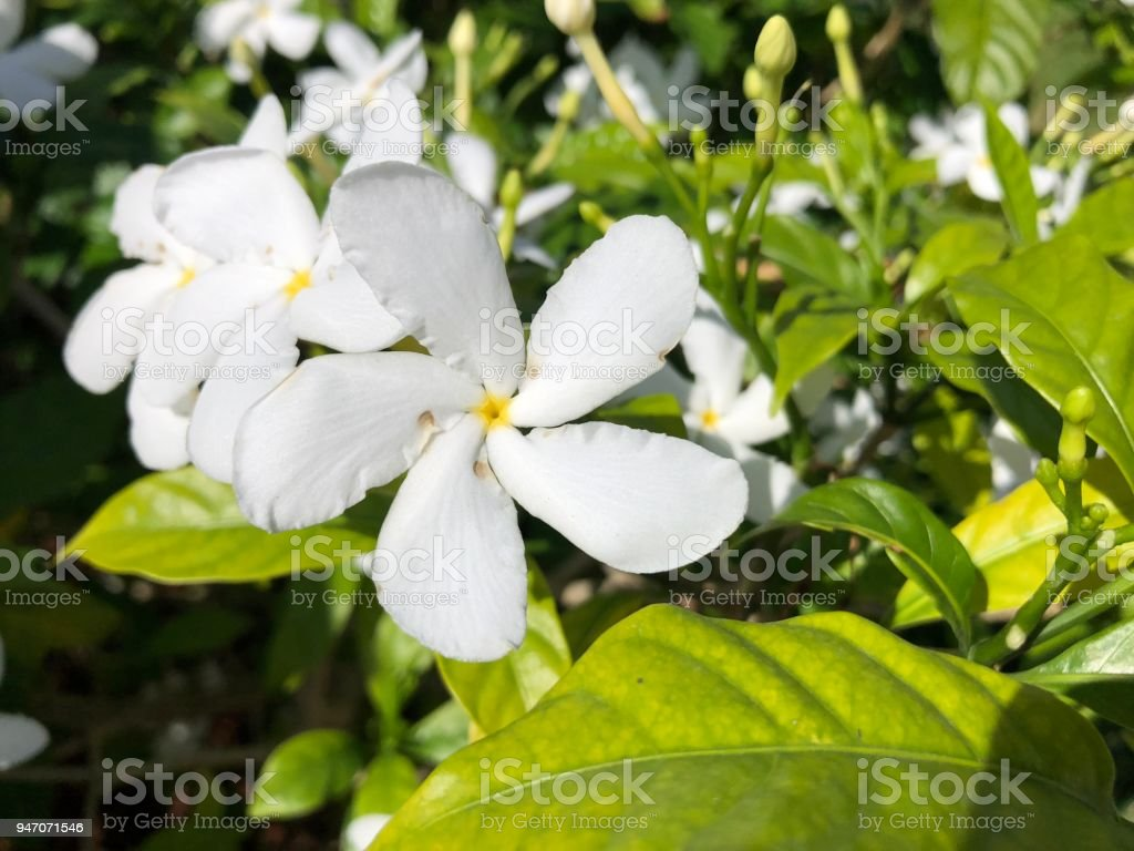 White Plumeria Flower Stock Photo More Pictures Of Beauty Istock