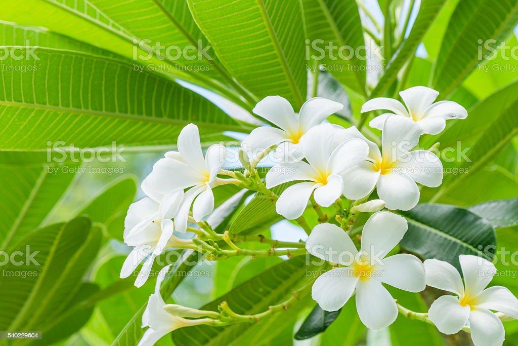 Weiße Plumeria Blüte Mit Natur Hintergrund Stockfoto 540229604 | iStock