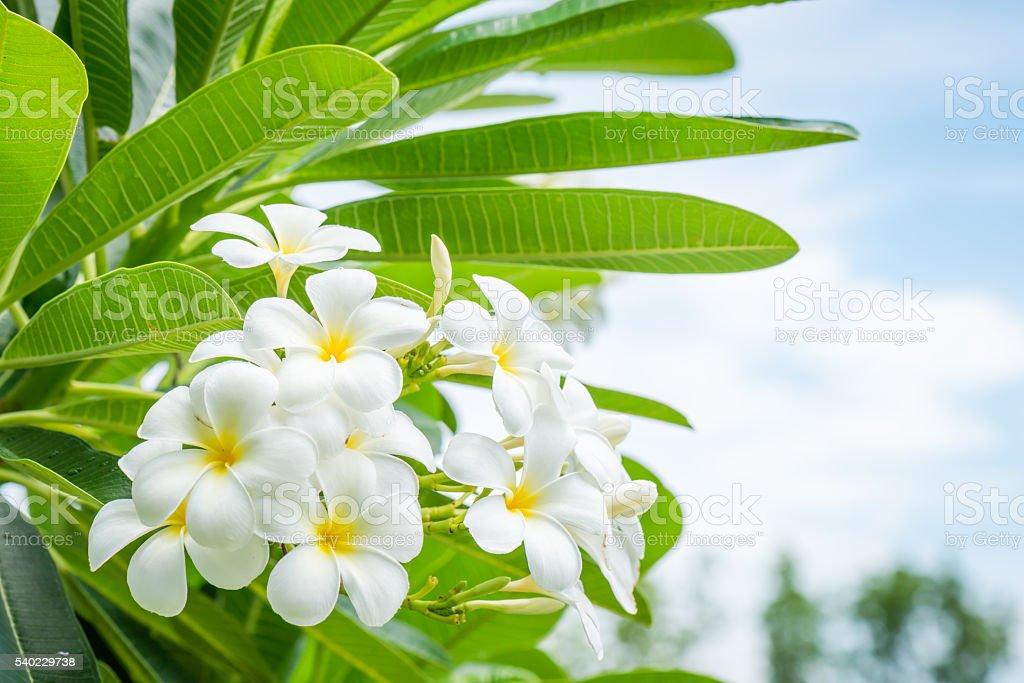 Weiße Plumeria Blüte Mit Natur Hintergrund - Stockfoto | iStock
