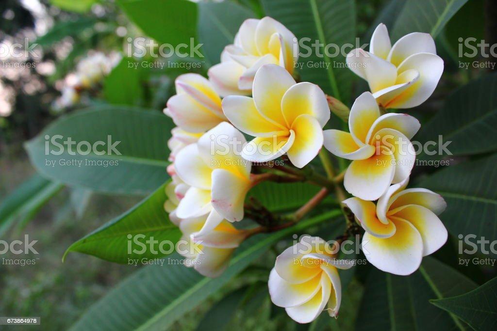White plumeria flowers in the garden photo libre de droits