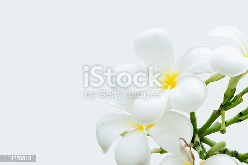 White plumeria flowers on isolated white background.
