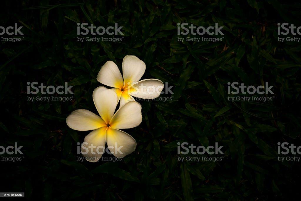 White plumeria on a green lawn. stock photo
