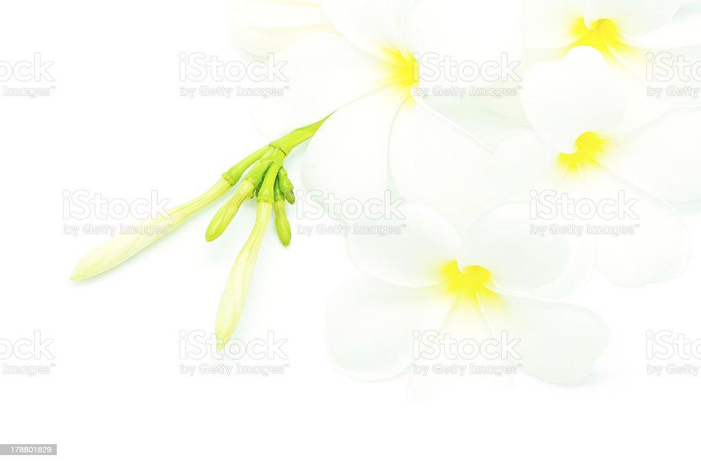 white Plumeria royalty-free stock photo