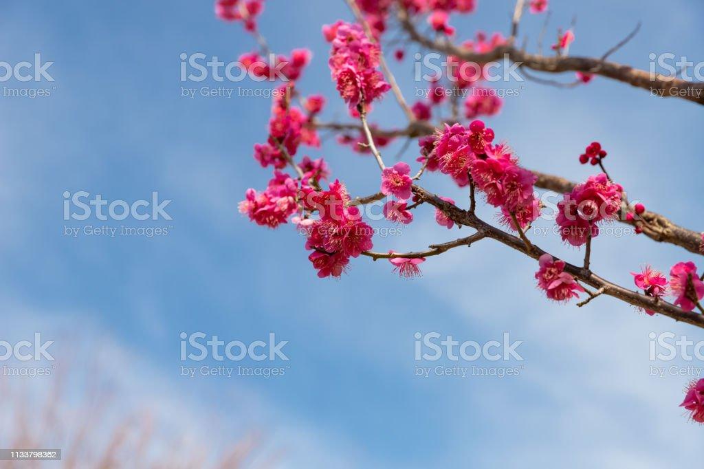 春に咲く白い梅 ストックフォト