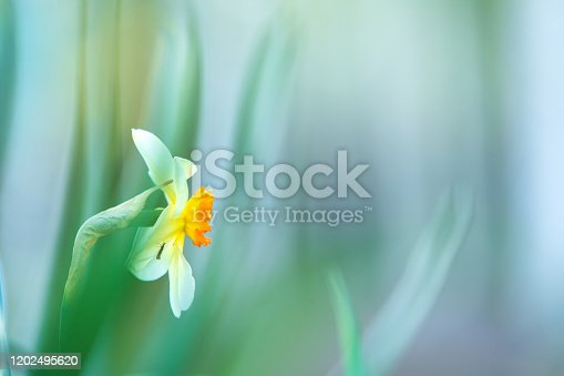 639245704 istock photo White Poeticus daffodil in springtime 1202495620