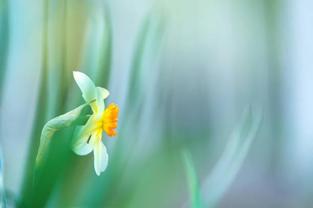 White Poeticus daffodil in springtime stock photo