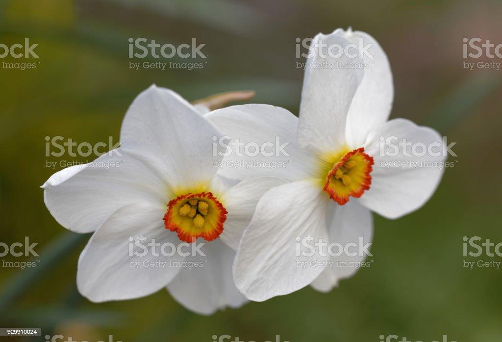 Fleur Jonquille Du Poete White Au Debut Du Printemps Fond Defocalise