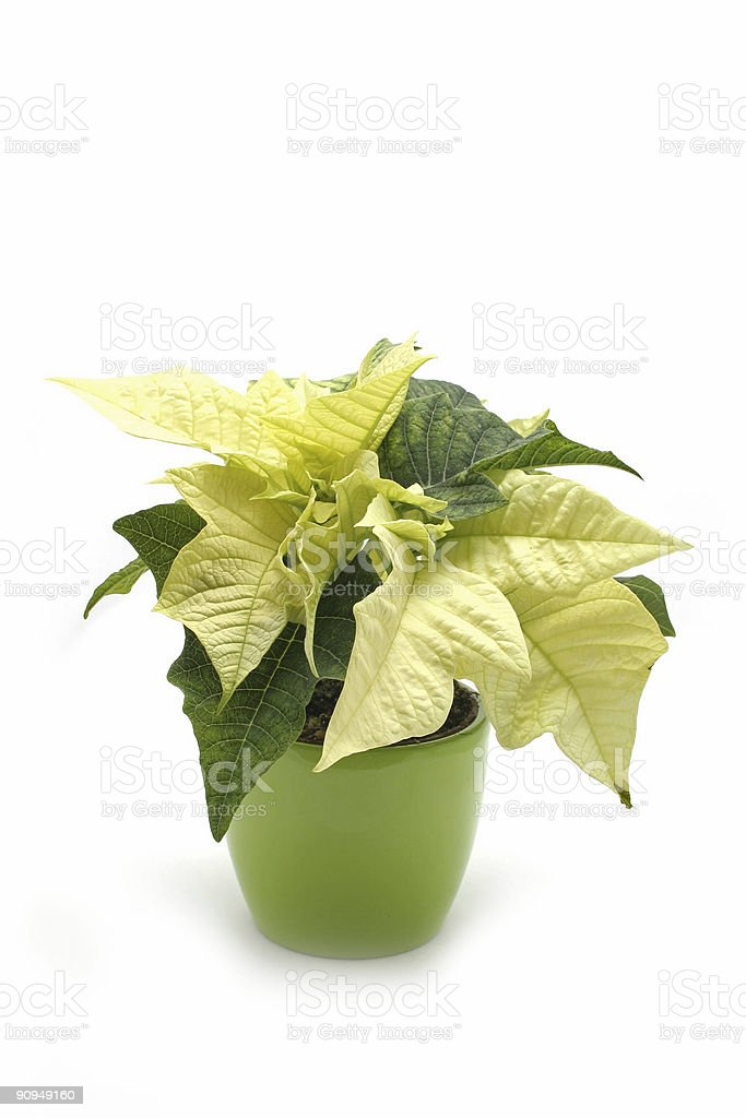 White poinsettia in a green pot royalty-free stock photo
