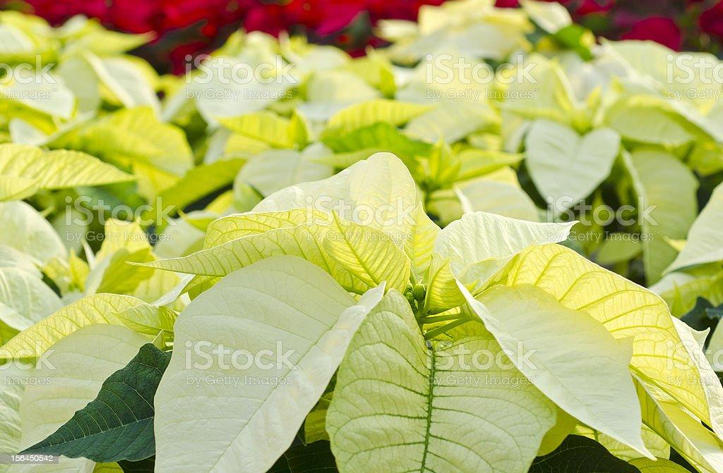 White Poinsettia stock photo