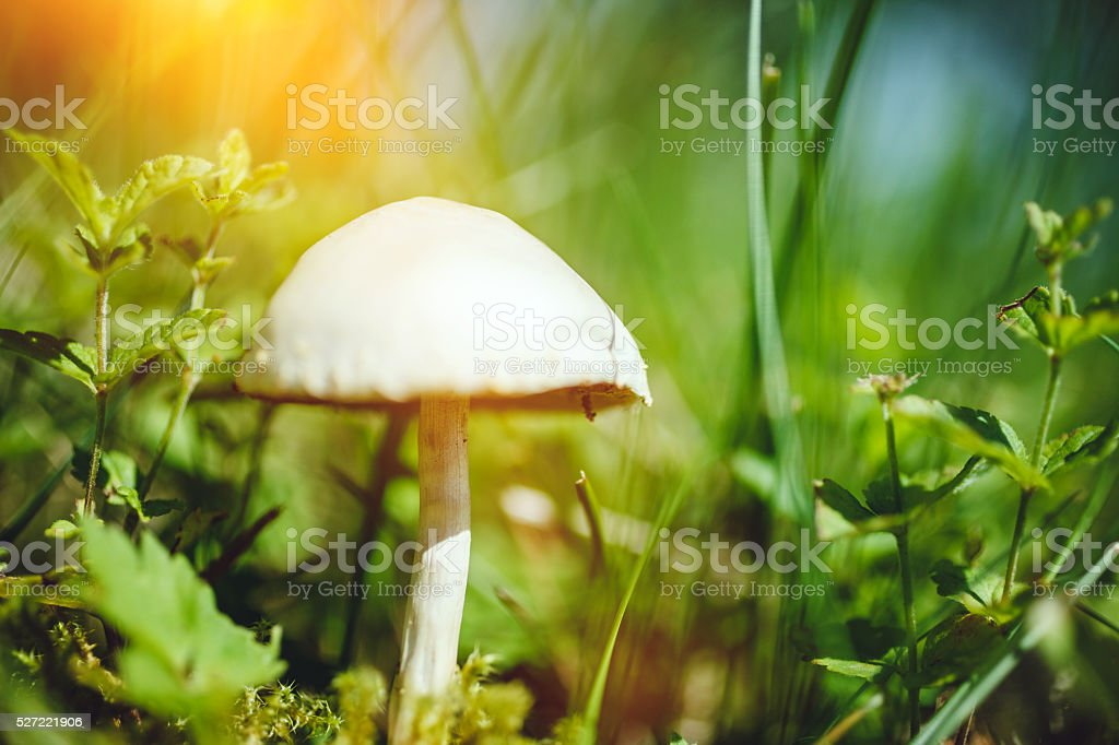 White poisonous mushroom stock photo