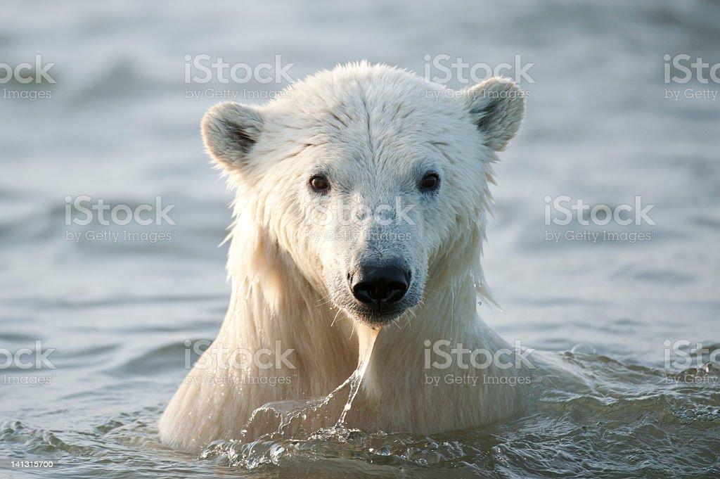 White polar bear coming out of the ocean Wet Polar Bear in the Arctic Ocean Alaska - US State Stock Photo