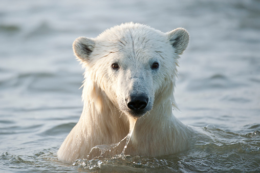White Polar Bear Coming Out Of The Ocean Stock Photo - Download Image Now