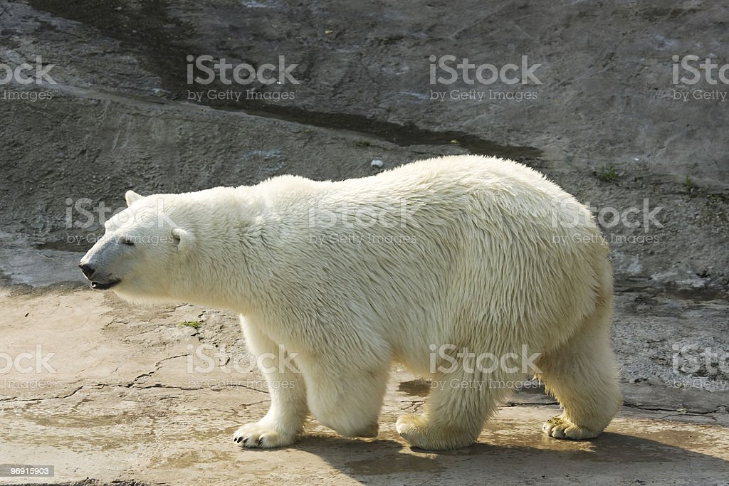White Polar bear royalty-free stock photo