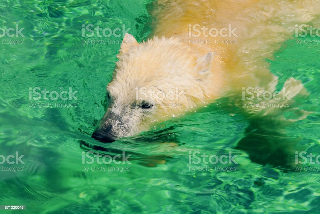 White polar bear.White polar bear enjoying in a pool of water.The head of the polar bear, bathing in water. stock photo