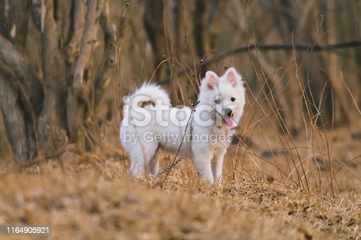A pom dog .white in color,from india.