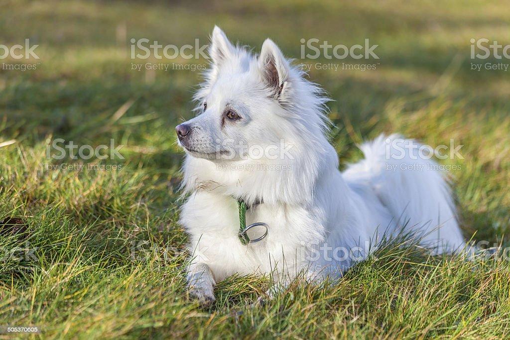 White Pomeranian dog stock photo