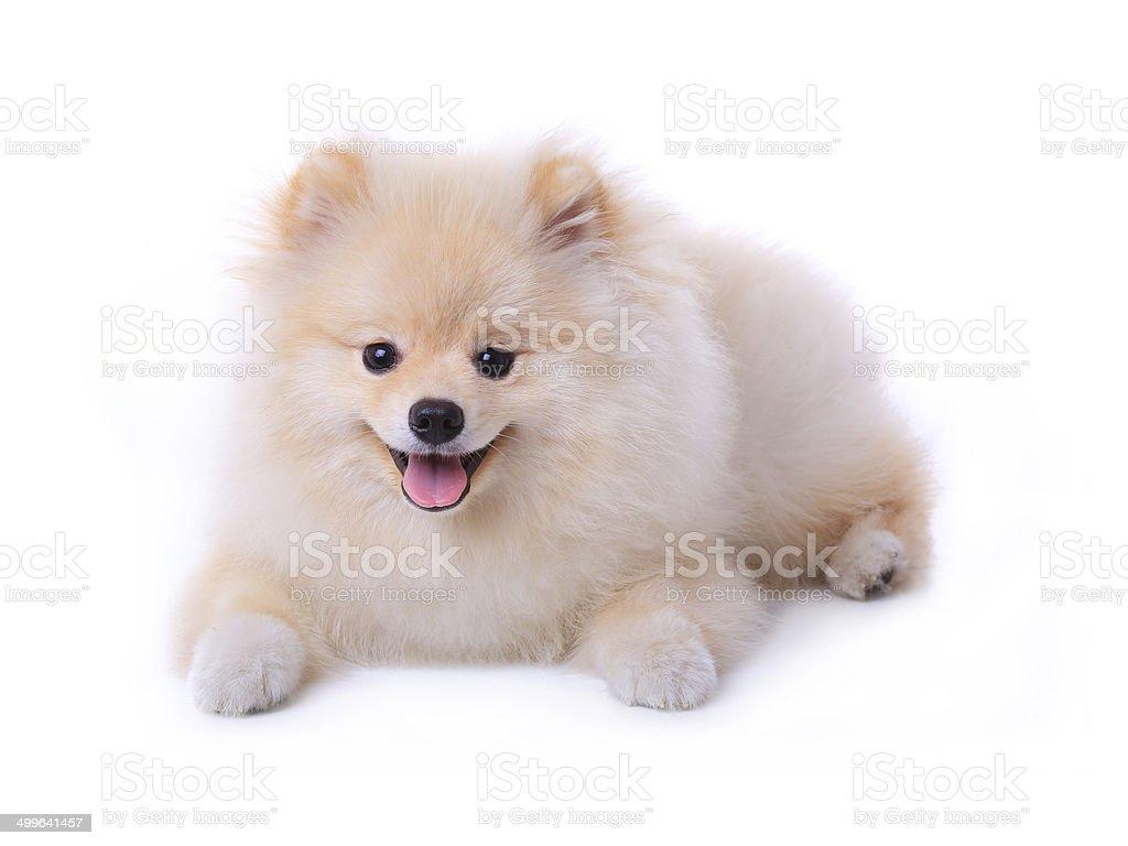 White Pomeranian Puppy Dog Stock Photo Download Image Now Istock