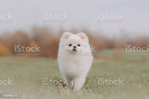 White pomeranian spitz dog posing outdoors in autumn picture id1213453115?b=1&k=6&m=1213453115&s=612x612&h=30jpwsrggoi3ynuwtl9og2nuiod8siwxkw6jm eszam=