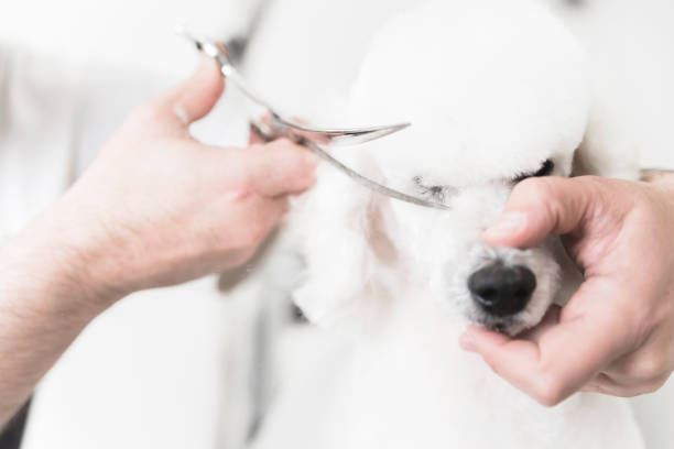 White poodle at grooming salon stock photo