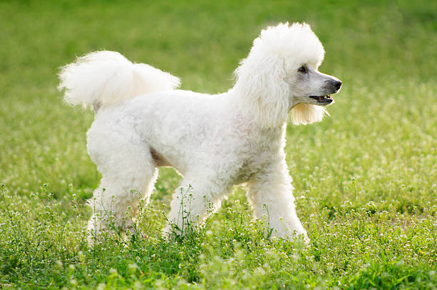 White poodle dog on green grass  field White poodle dog on green grass  field in spring or summer poodle stock pictures, royalty-free photos & images