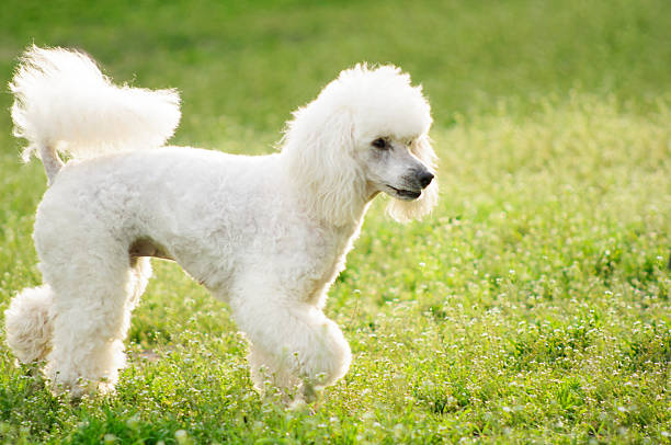 White poodle dog on green grass field picture id520646206?b=1&k=6&m=520646206&s=612x612&w=0&h=x coj3j67biaykiweghaan xjq8es sp0wba3pzytyq=
