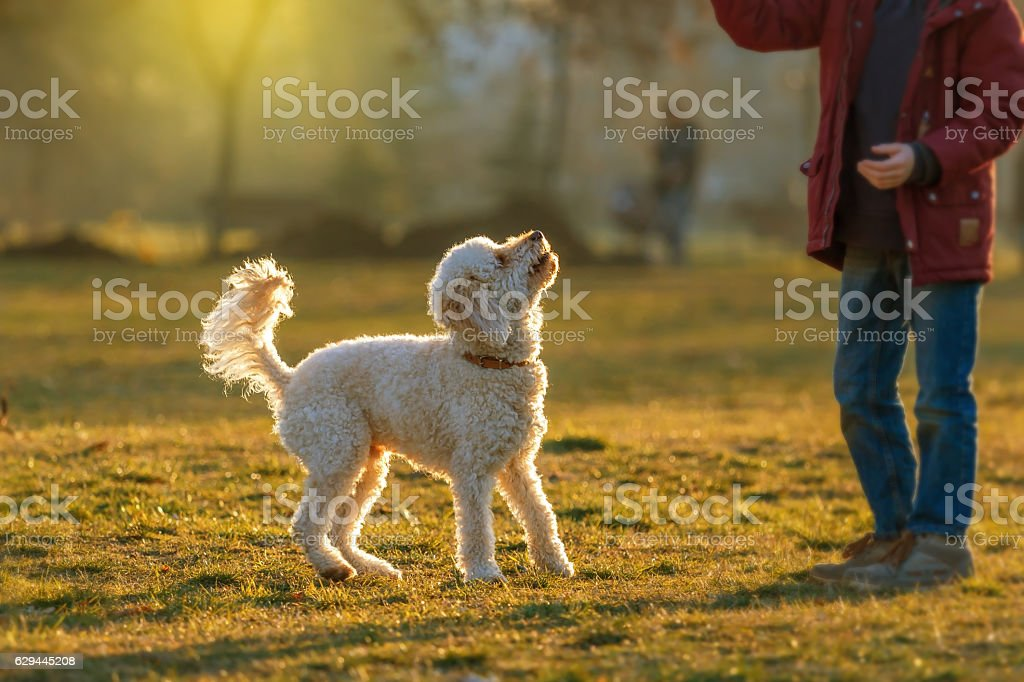 white poodle lawn and little boy stock photo