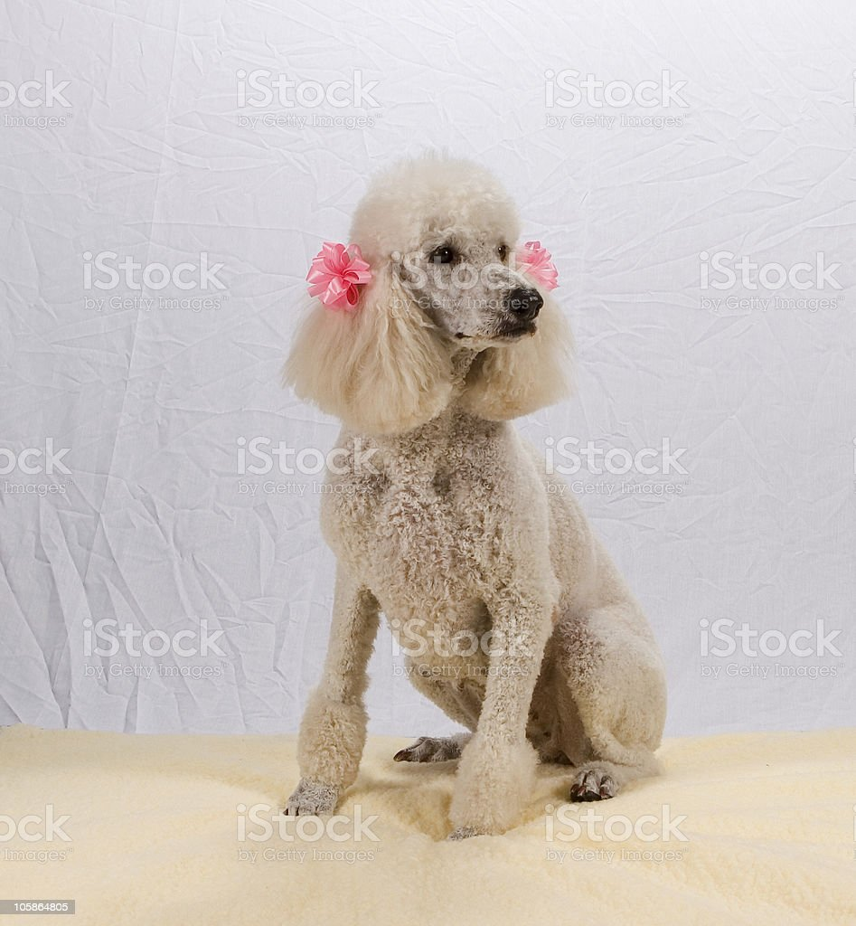 White Poodle royalty-free stock photo
