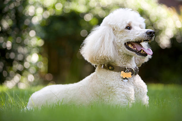 White poodle playing in the yard. A portrait of a standard poodle in the grass. poodle stock pictures, royalty-free photos & images