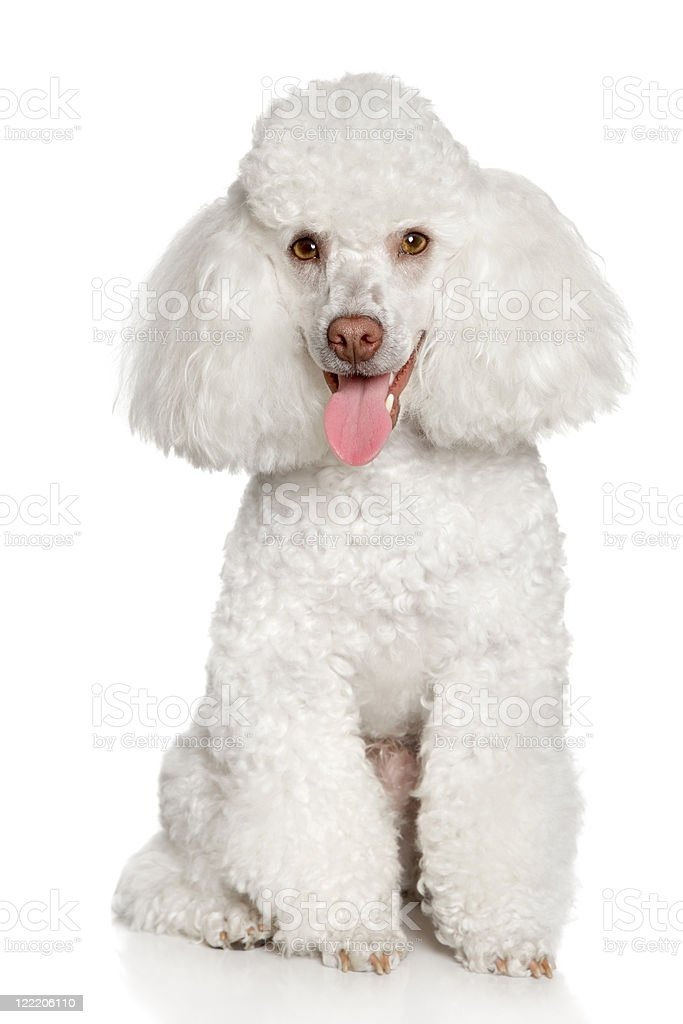 White Poodle Puppy Stock Photo Download Image Now Istock