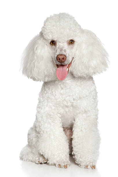 White poodle puppy White poodle puppy on a white background poodle stock pictures, royalty-free photos & images