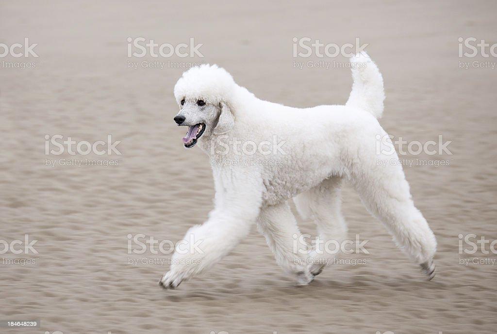 Weiße Pudel entlang dem Strand – Foto