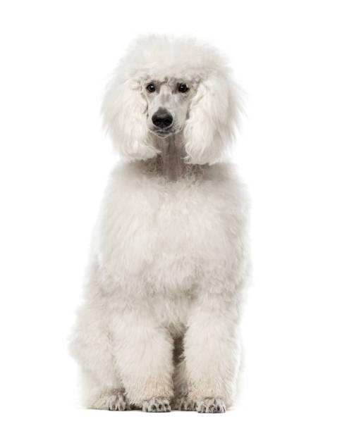 White poodle sitting, 9 months old , isolated on white White poodle sitting, 9 months old , isolated on white poodle stock pictures, royalty-free photos & images