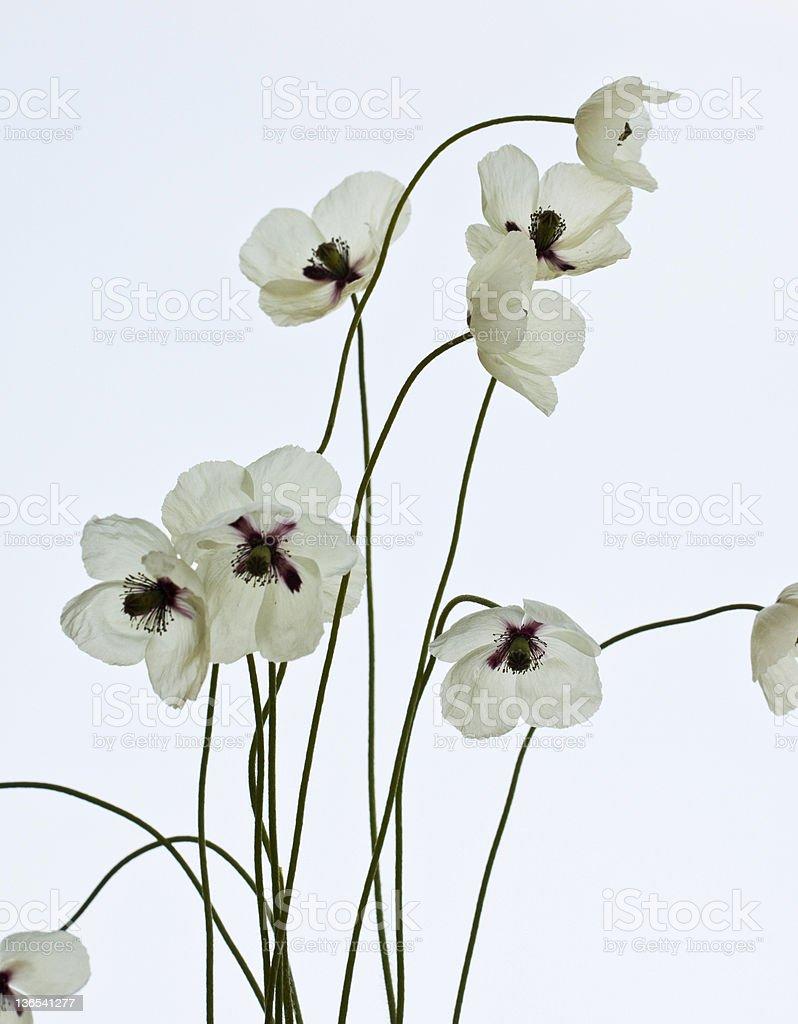 White poppies royalty-free stock photo