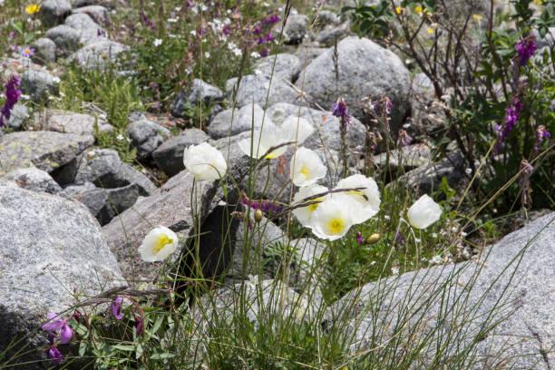 Weißen Mohn Blumen im Sommer in der Nähe von Beluha Berg, Altai, Russland – Foto