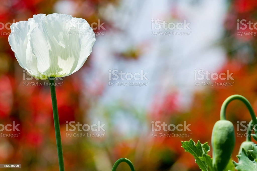 white poppy in the blurred background. royalty-free stock photo