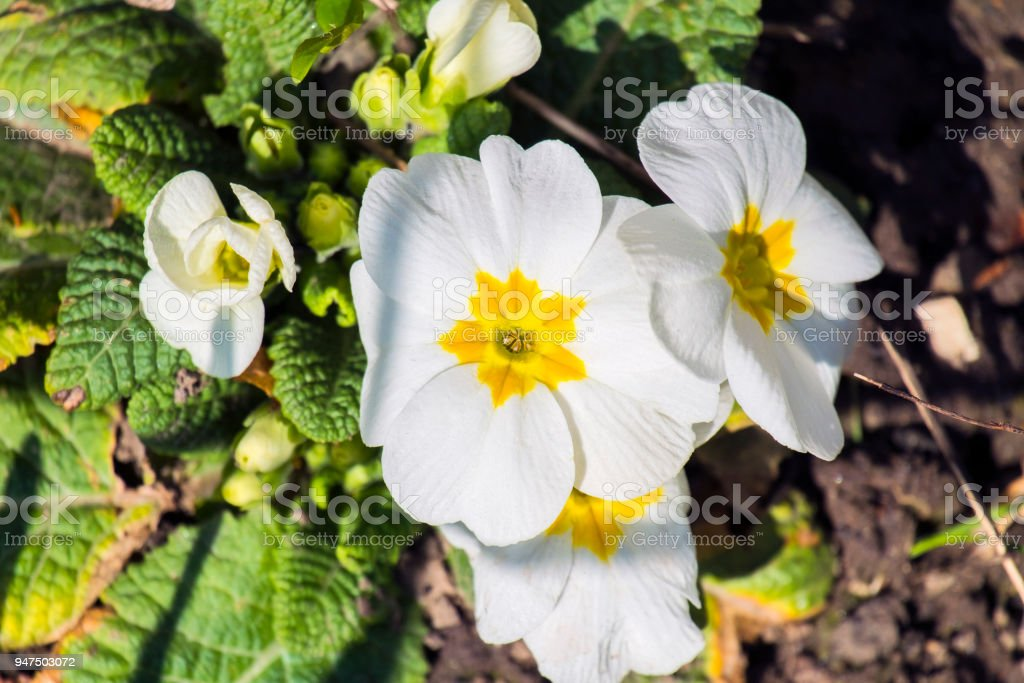 White primrose flowers (Primula acaulis) stock photo