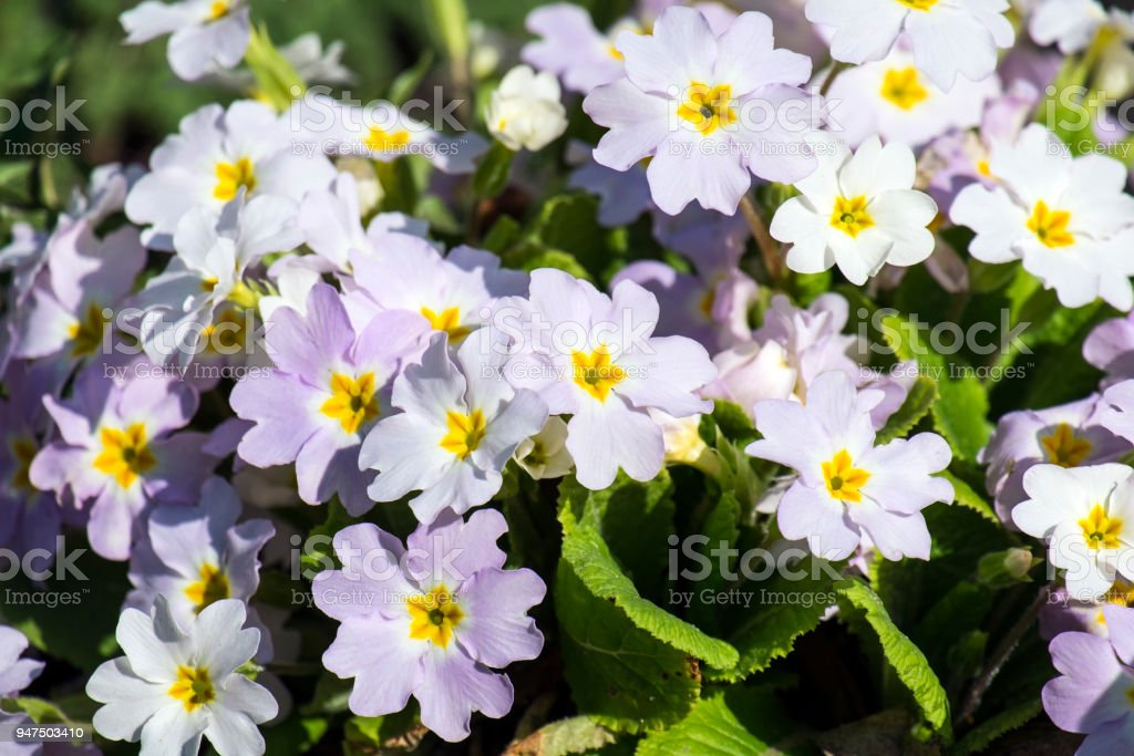 White primrose flowers (Primula vulgaris) stock photo