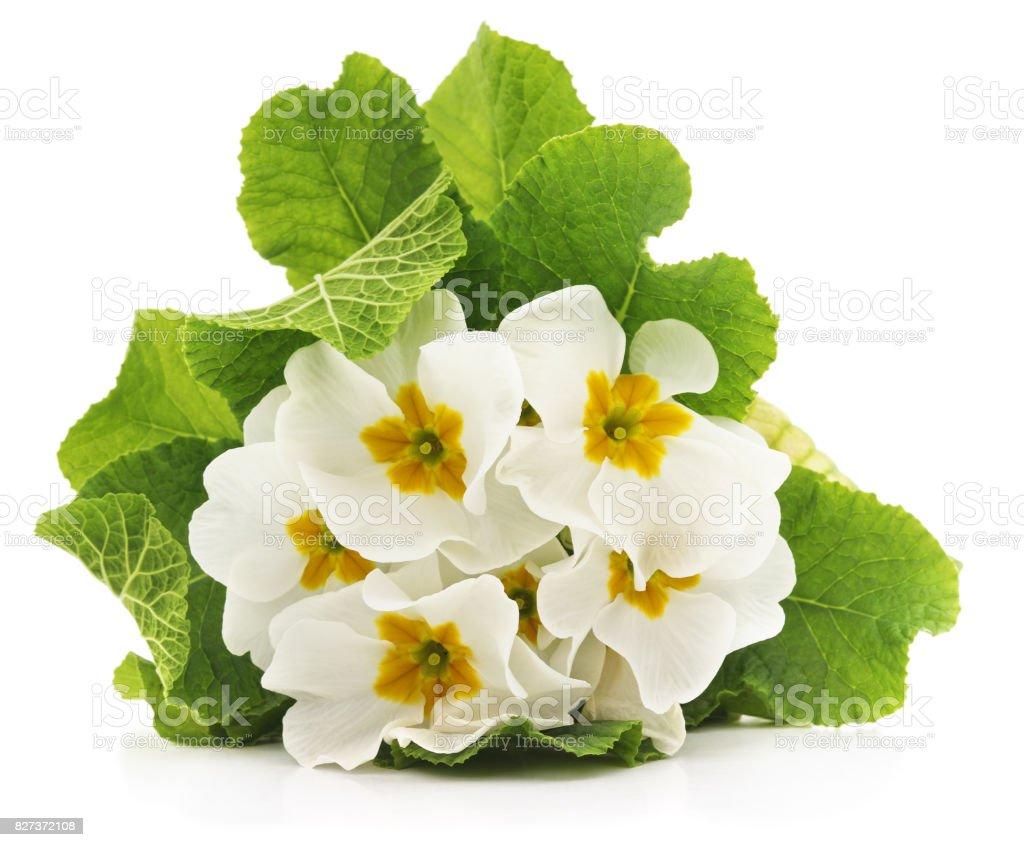 White primrose. stock photo