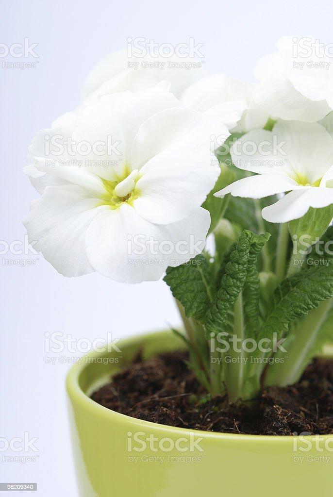 White primrose royalty-free stock photo