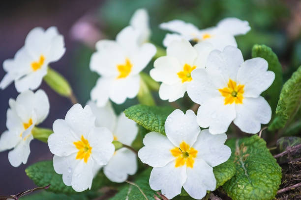 White primroses flowers blooming in the park White primroses flowers blooming in the park close up primula stock pictures, royalty-free photos & images