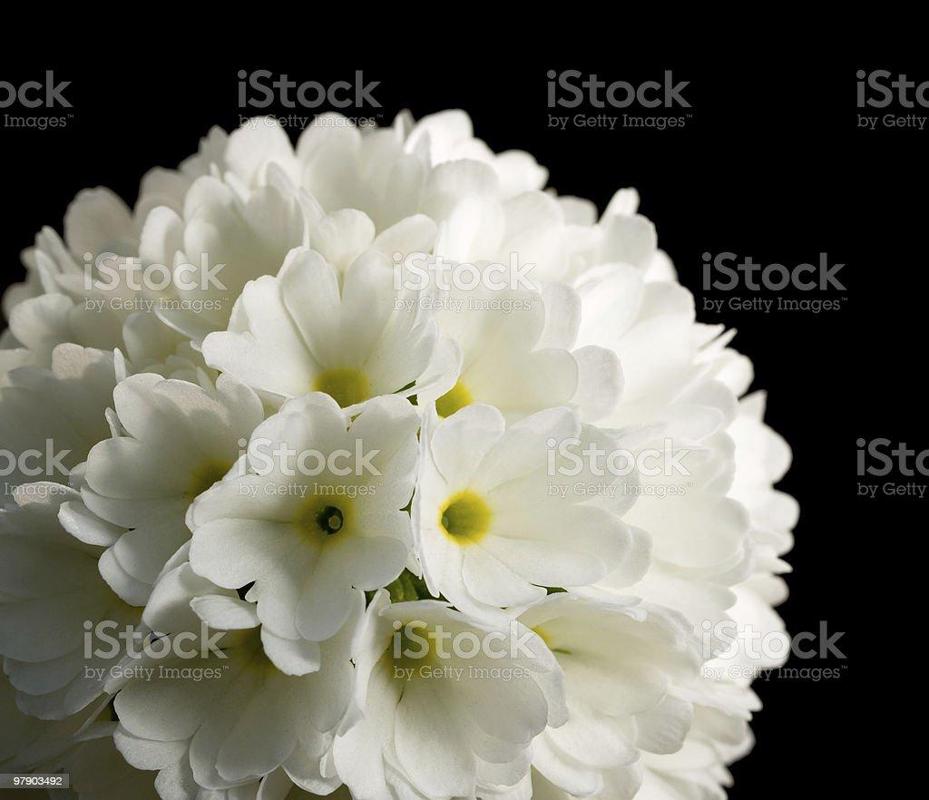 White primula on black royalty-free stock photo