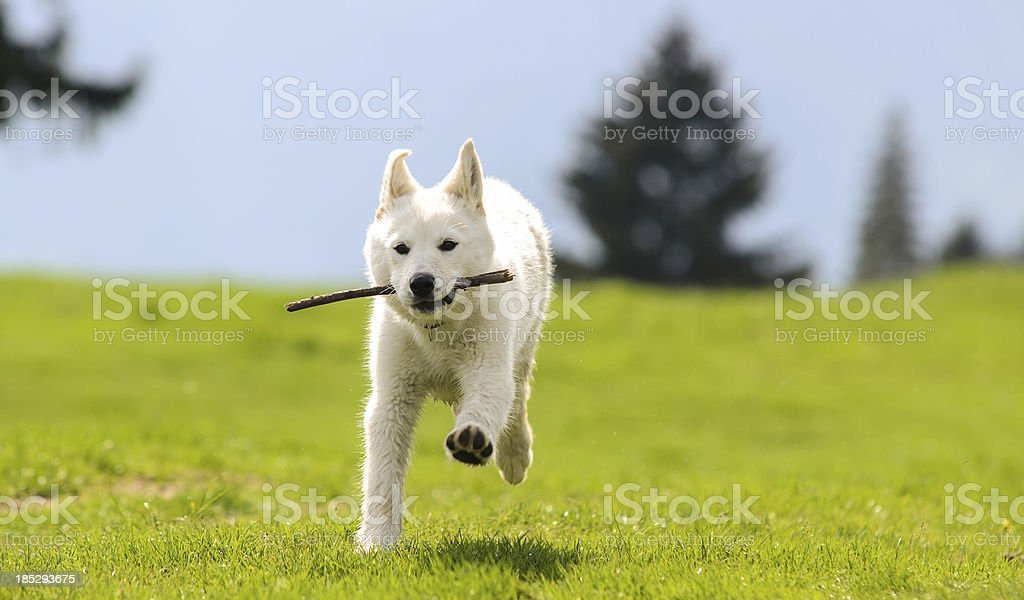 White puppy dog playing stock photo