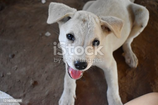 White puppy lying down, looking at camera