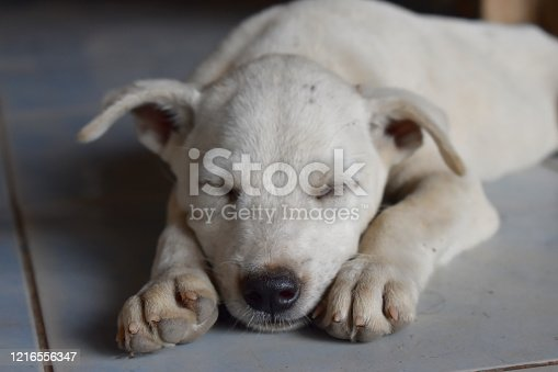 615107296 istock photo White puppy lying down sleeping on the floor 1216556347
