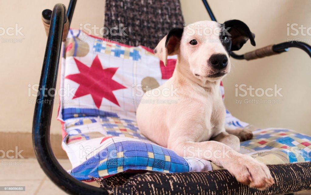 Weiße Welpen Liegen Auf Dem Stuhl Zu Hause Stockfoto Und Mehr Bilder