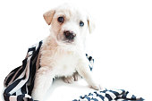 White puppy wrapped in a striped black and white rag. Isolate on a white background. Space for text.