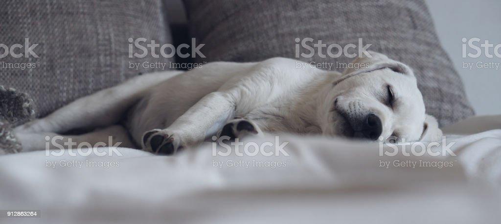 Weiße reinrassige Labrador Retriever Hund Welpe liegend auf dem Bett schlafen müde zu Hause – Foto