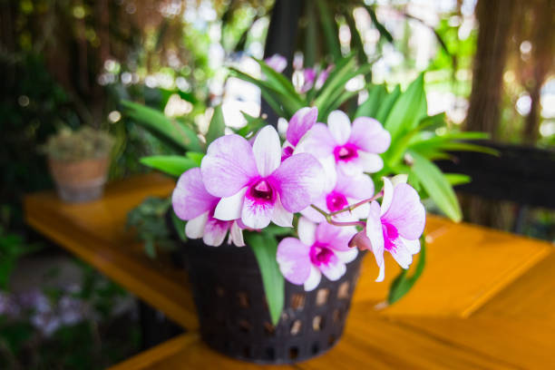 White purple orchid in a pot. stock photo