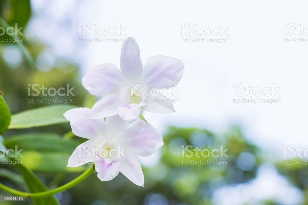 White Purple Orchids Tropical Orchids Symbol Of Thai Flower Stock