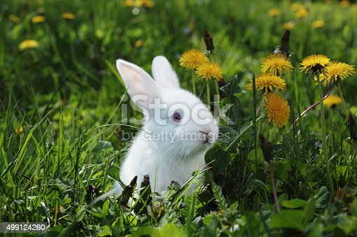 Close-up of cute baby rabbit in grass.  Outdoor springtime setting , a lot of dandelions. Sunlight from behind .